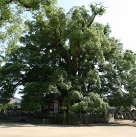 香川県天然記念物 大楠